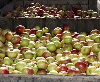 apple picking in season