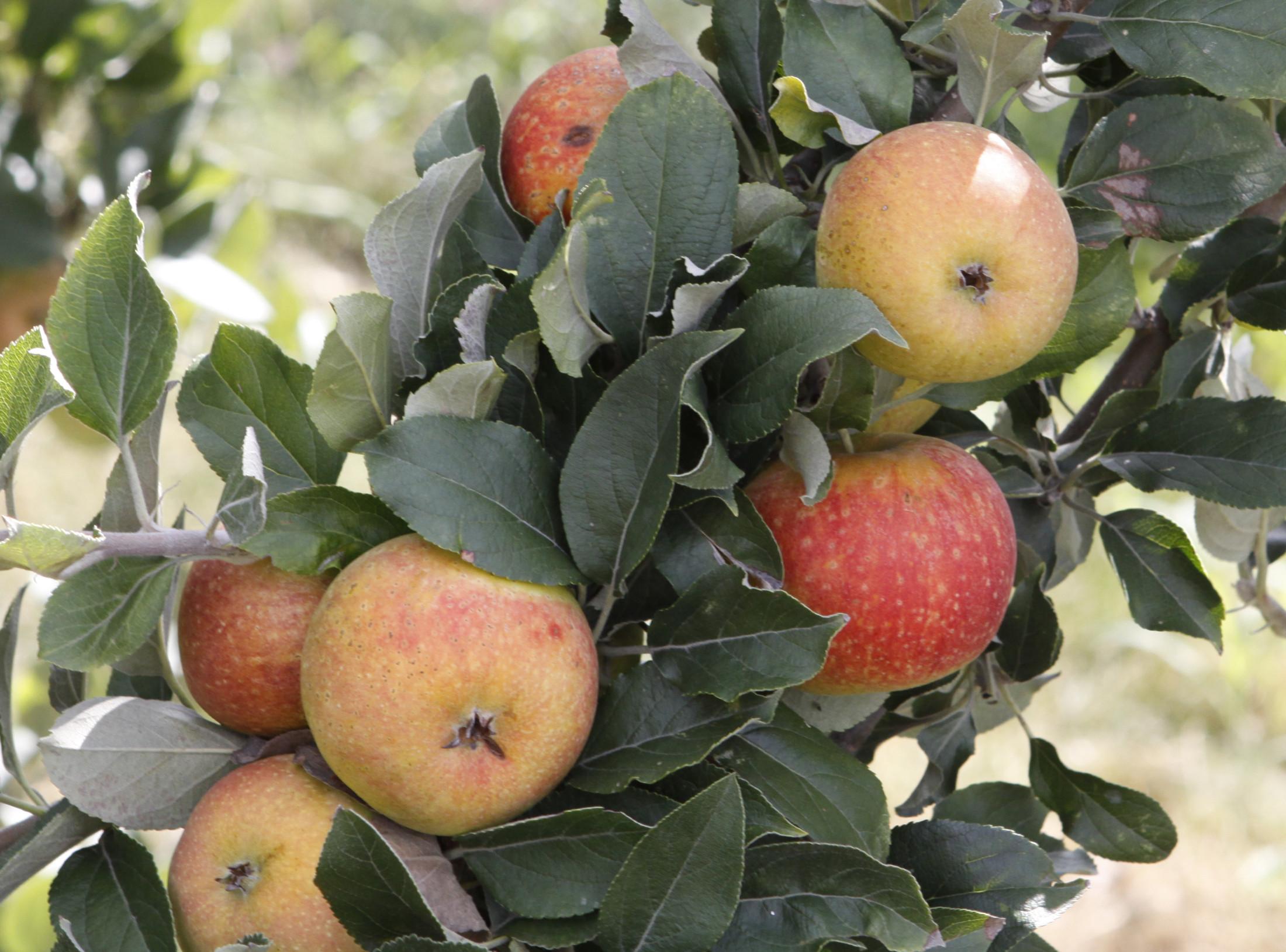 The Apples--Still on Tree