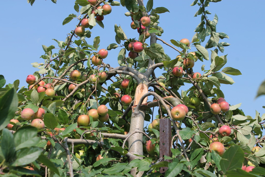 Apple farm damage after storm